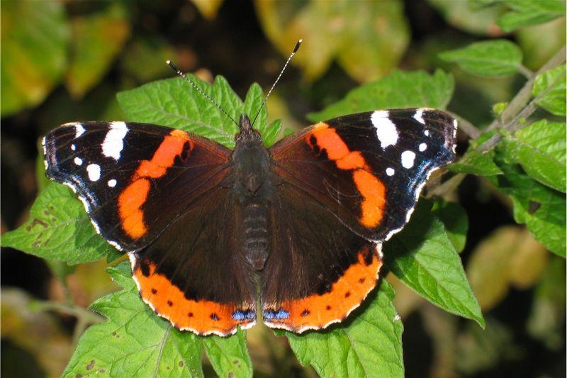 Чешуекрылые или бабочки